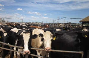 Cattle at Saleyard