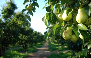 Pear Orchard, Goulburn Valley