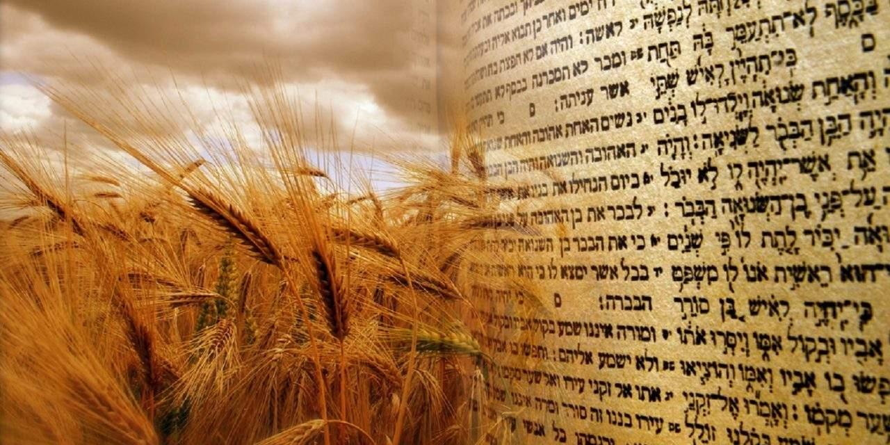 sheaves of grain and Torah